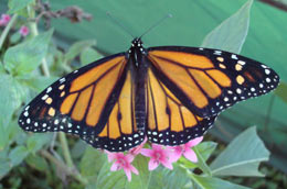 monarch butterfly wings spread