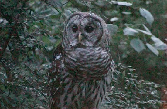 Barred Owl in the Backyard hunting for stuff in koi pond
