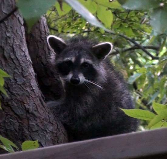 Baby Racoon in tree hollow hd video