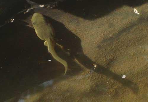 big tadpole